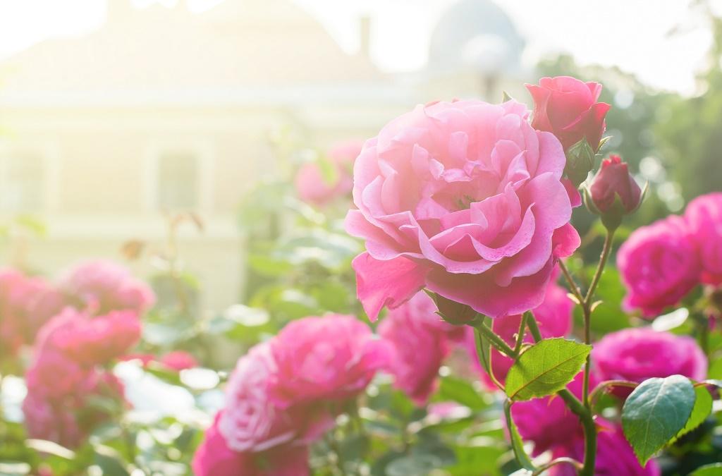 sol para rosas - ROSAS | 10 DICAS de como CULTIVAR