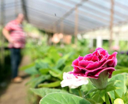 viveiros de rosas - ROSAS | 10 DICAS de como CULTIVAR