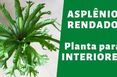 Novo VÍDEO | ASPLÊNIO RENDADO | Planta para INTERIORES