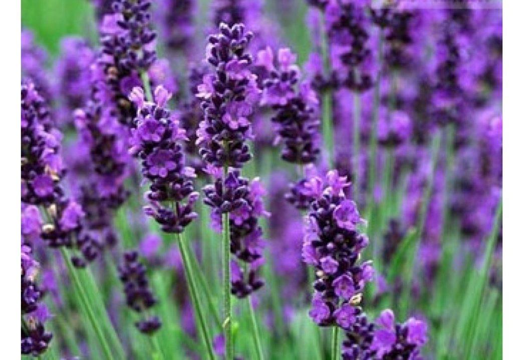 Lavanda Inglesa 1 1024x720 - LAVANDA: Como CULTIVAR e dar perfume ao jardim