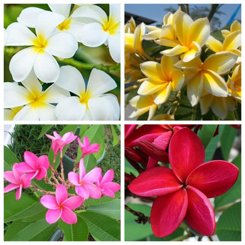 Plumerias 1 1024x1024 - Plumerias | CONHEÇA Mais sobre esta Flor Encantadora