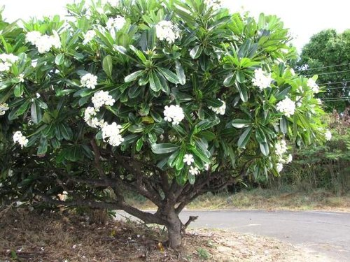 em seu habitat - Plumerias | CONHEÇA Mais sobre esta Flor Encantadora