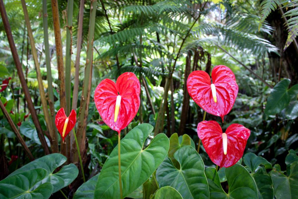 florestas tropicais 1024x683 - ANTÚRIOS | Conheça Todos os CUIDADOS e DICAS