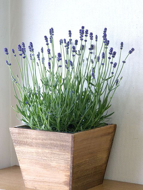 lavanda em vaso - LAVANDA: Como CULTIVAR e dar perfume ao jardim