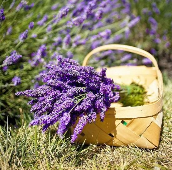 lavanda - LAVANDA: Como CULTIVAR e dar perfume ao jardim