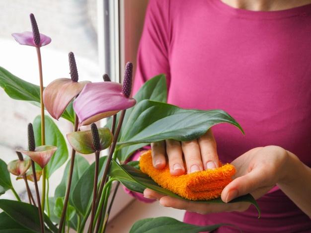 limpando as folhas - ANTÚRIOS | Conheça Todos os CUIDADOS e DICAS
