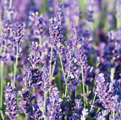royal velvet 1 - LAVANDA: Como CULTIVAR e dar perfume ao jardim