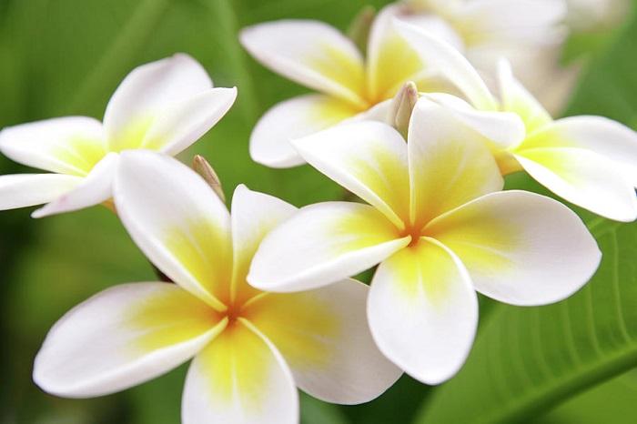 plumeria 6 - Plumerias | CONHEÇA Mais sobre esta Flor Encantadora