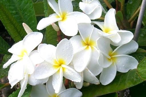 plumeria 7 - Plumerias | CONHEÇA Mais sobre esta Flor Encantadora