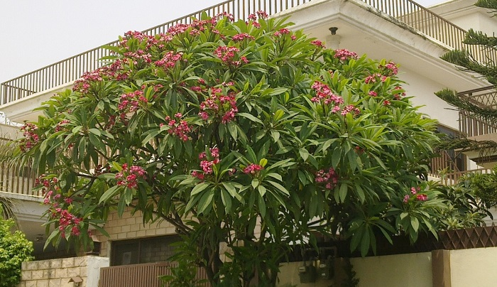 plumeria 9 - Plumerias | CONHEÇA Mais sobre esta Flor Encantadora