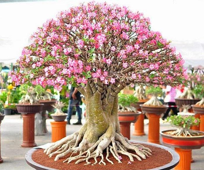 rosa do deserto 3 - ROSA DO DESERTO Como Cuidar e Muito Mais sobre ela!