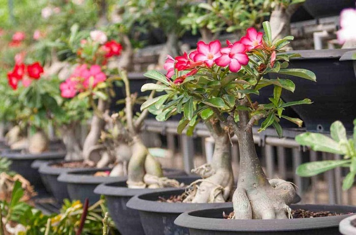 rosa do deserto1 - ROSA DO DESERTO Como Cuidar e Muito Mais sobre ela!