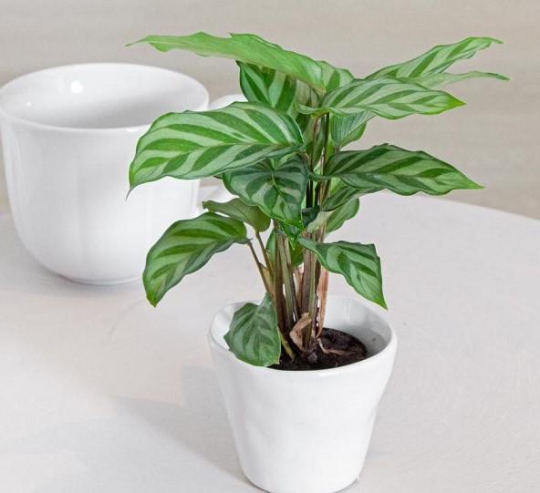Calathea Freddie 1 - PLANTAS PARA BANHEIRO | Conheça 10 Tipos para Usar