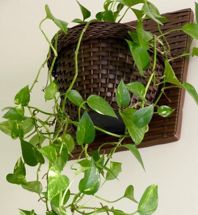 Jiboia - PLANTAS PARA BANHEIRO | Conheça 10 Tipos para Usar