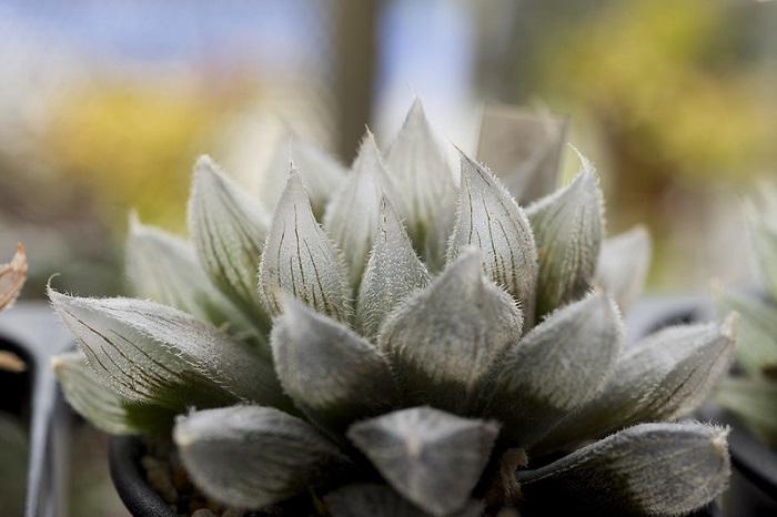 haworthia cooperi 4 1 - HAWORTHIA COOPERI: Conheça a Suculenta que parece uma JÓIA