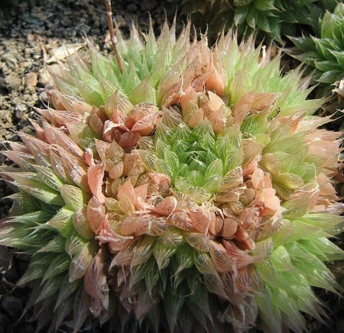 haworthia cooperi 7 2 - HAWORTHIA COOPERI: Conheça a Suculenta que parece uma JÓIA