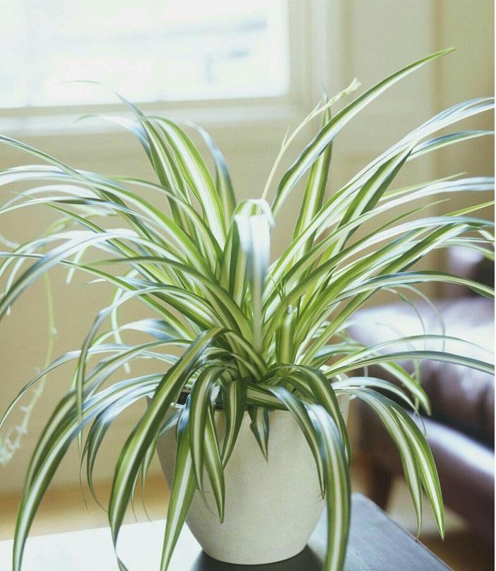 spider plant 1 - PLANTAS PARA BANHEIRO | Conheça 10 Tipos para Usar