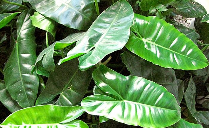 Philodendron imbe - PLANTAS NO QUARTO, Pode Ter? Descubra Tudo