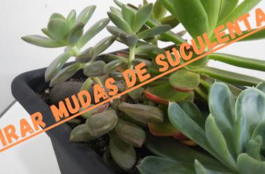 Novo Vídeo: TIRAR MUDAS DE SUCULENTAS Já Formadas Sem Utilizar as Folhas
