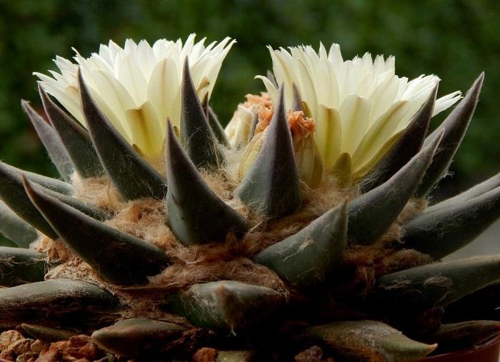 ariocarpus trigonus 1 - SUCULENTAS RARAS: Conheça 8 Espécies Lindas