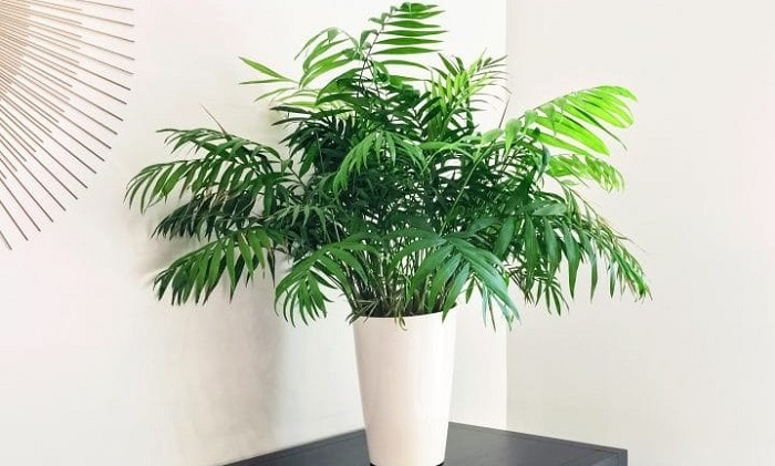 parlor palm - PLANTAS NO QUARTO, Pode Ter? Descubra Tudo