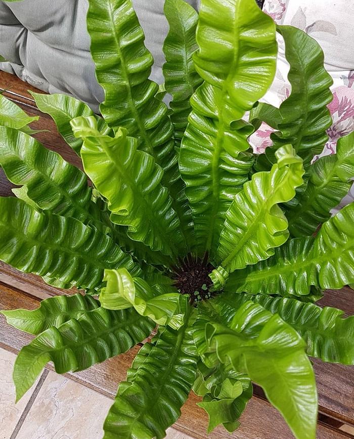 asplenio 1 - JARDIM VERTICAL: 15 Plantas Pra Sua Parede Verde!
