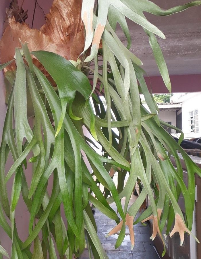 chifre veado - JARDIM VERTICAL: 15 Plantas Pra Sua Parede Verde!