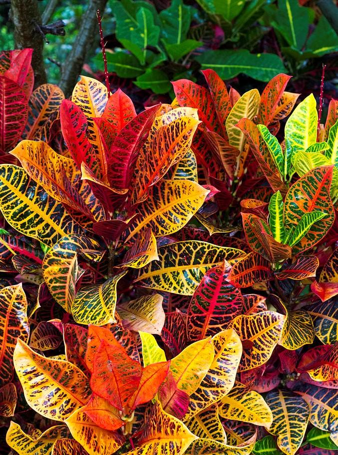 crotons 2 - JARDIM VERTICAL: 15 Plantas Pra Sua Parede Verde!