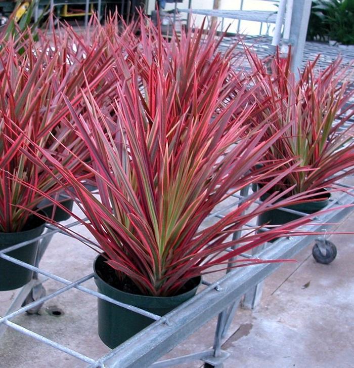 dracena tricolor - JARDIM VERTICAL: 15 Plantas Pra Sua Parede Verde!