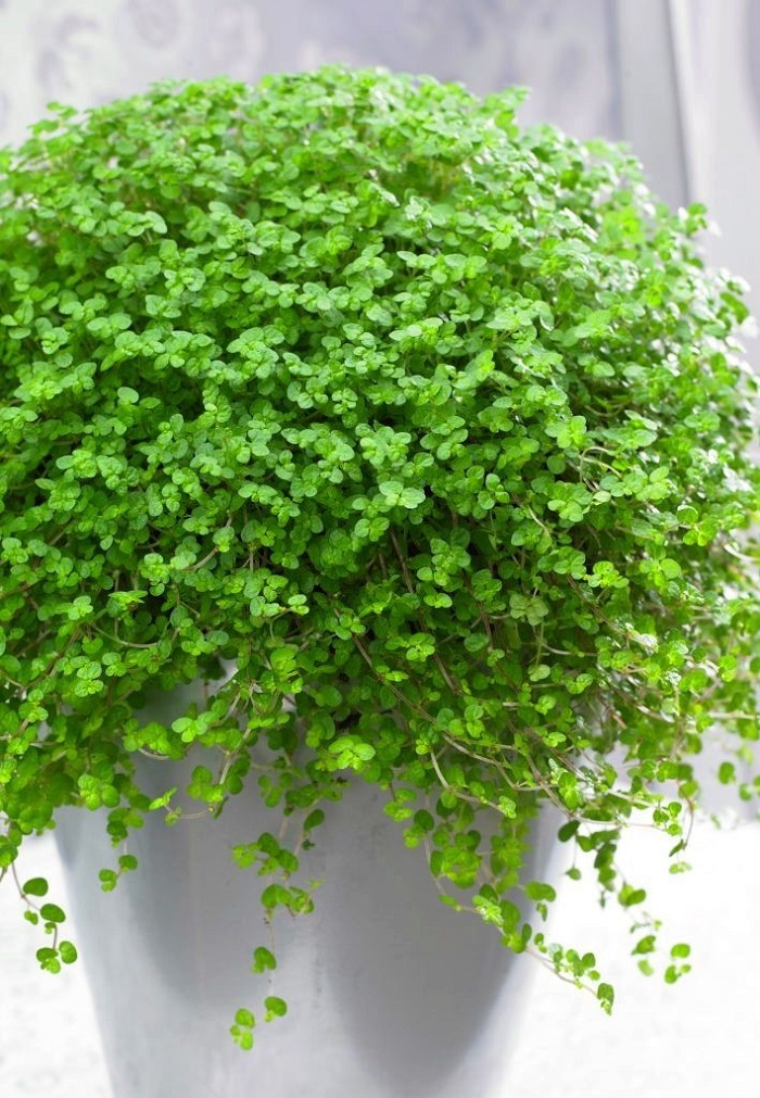 lagrimas de bebe - JARDIM VERTICAL: 15 Plantas Pra Sua Parede Verde!