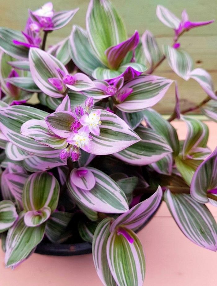 lambari roxo - JARDIM VERTICAL: 15 Plantas Pra Sua Parede Verde!