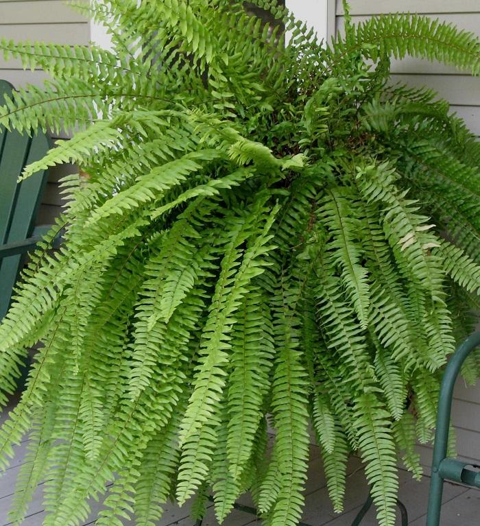 samambaia 1 - JARDIM VERTICAL: 15 Plantas Pra Sua Parede Verde!