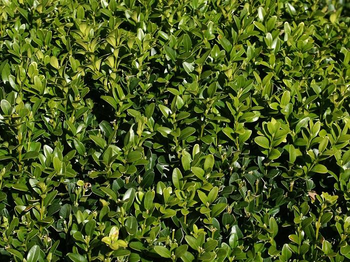 Buxus sempervirens 1 - PLANTAS DE SOMBRA - 15 Plantas para Cultivar em Casa