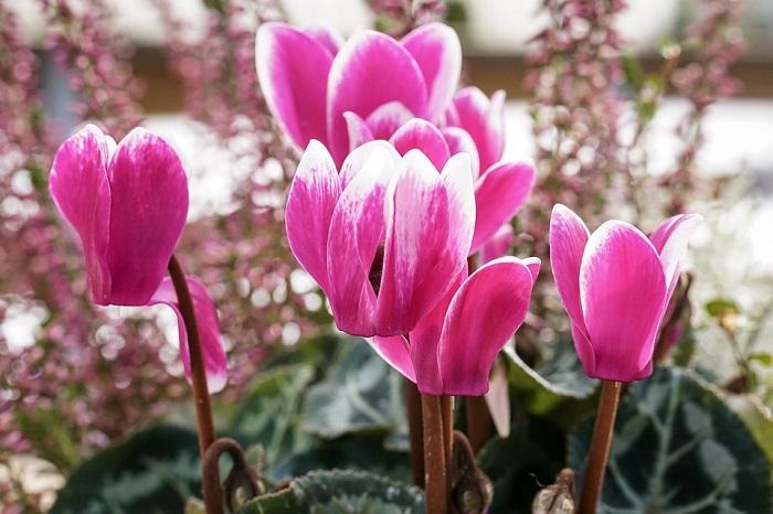 Ciclamen - PLANTAS DE SOMBRA - 15 Plantas para Cultivar em Casa