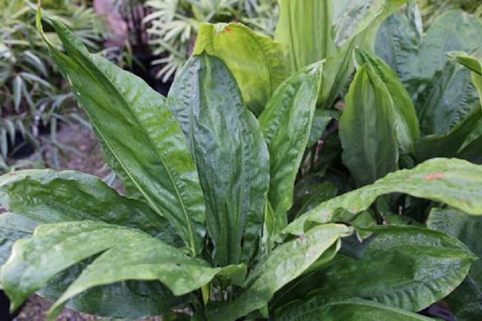 Ciclanto 1 - PLANTAS DE SOMBRA - 15 Plantas para Cultivar em Casa