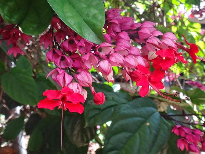Coracao sangrento - PLANTAS DE SOMBRA - 15 Plantas para Cultivar em Casa