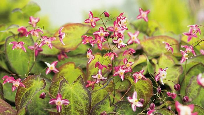 Epimedium E. rubrum1 - PLANTAS DE SOMBRA - 15 Plantas para Cultivar em Casa