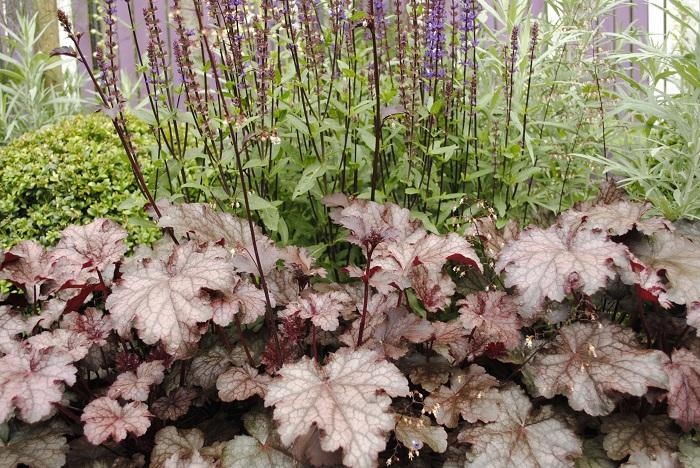 Heuchera 1 - PLANTAS DE SOMBRA - 15 Plantas para Cultivar em Casa