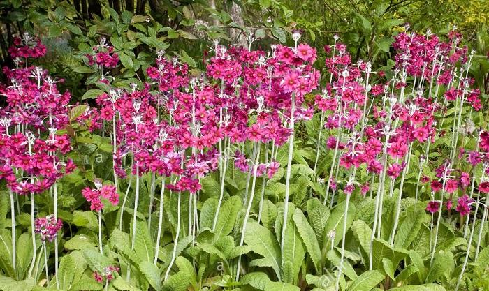 Primula de candelabro - PLANTAS DE SOMBRA - 15 Plantas para Cultivar em Casa