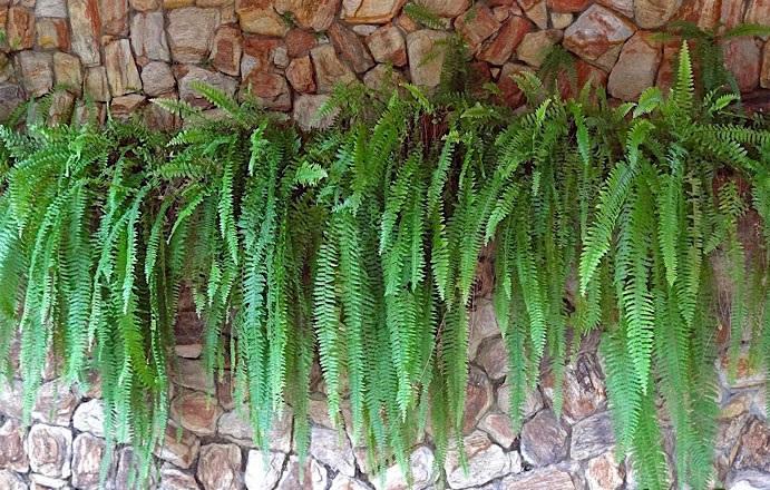 Samambaias pequenas Nephrolepis - PLANTAS DE SOMBRA - 15 Plantas para Cultivar em Casa