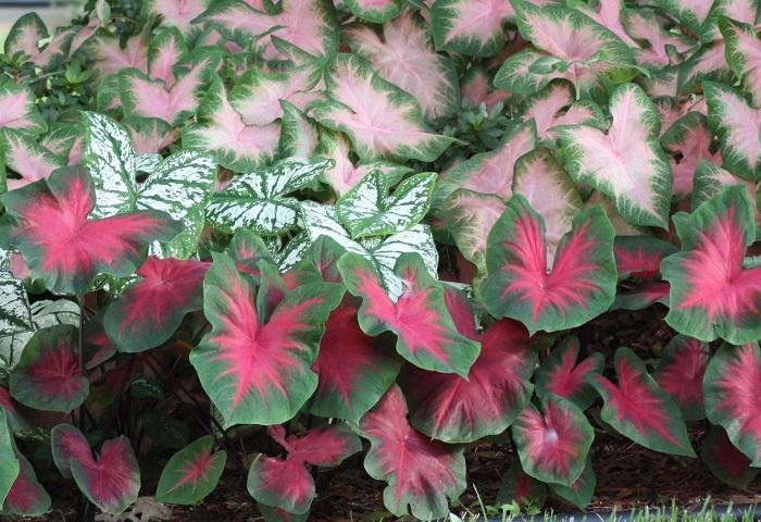 Tinhoroes 1 - PLANTAS DE SOMBRA - 15 Plantas para Cultivar em Casa