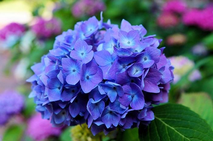 hortensias - PLANTAS DE SOMBRA - 15 Plantas para Cultivar em Casa