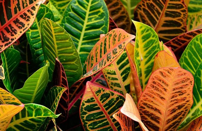 Croton - 7 PLANTAS DIFÍCEIS de cuidar que valem a pena