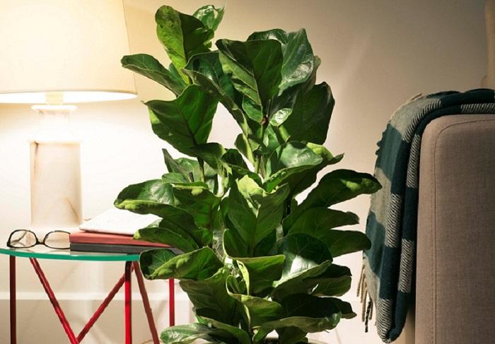 Ficus lyrata - 7 PLANTAS DIFÍCEIS de cuidar que valem a pena