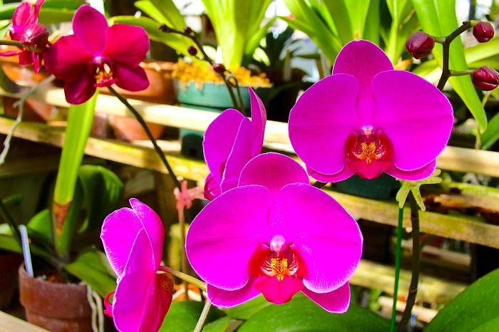 Phalaenopsis - 7 PLANTAS DIFÍCEIS de cuidar que valem a pena