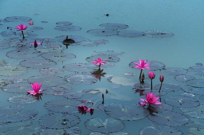 flor de lotus 1 - FLOR DE LÓTUS: 8 Curiosidades Desta Planta Aquática Muito Especial