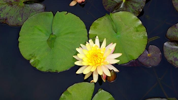 flor de lotus - FLOR DE LÓTUS: 8 Curiosidades Desta Planta Aquática Muito Especial