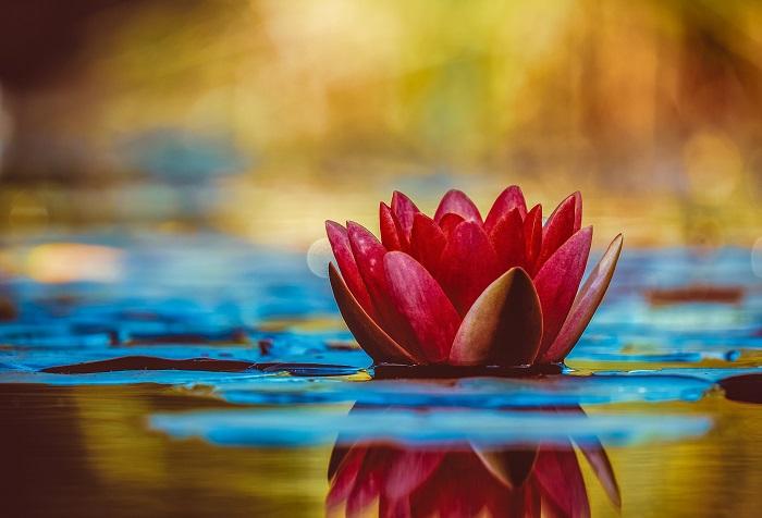 lotus - FLOR DE LÓTUS: 8 Curiosidades Desta Planta Aquática Muito Especial