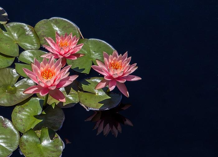 lotus2 - FLOR DE LÓTUS: 8 Curiosidades Desta Planta Aquática Muito Especial