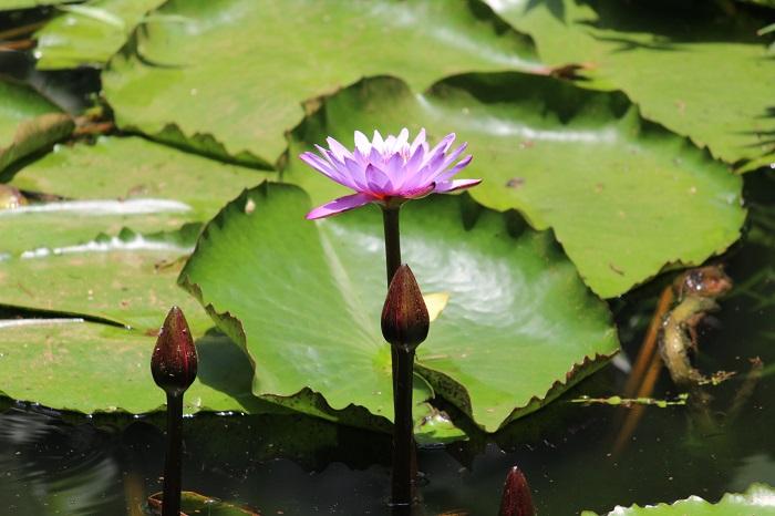 lotus4 - FLOR DE LÓTUS: 8 Curiosidades Desta Planta Aquática Muito Especial